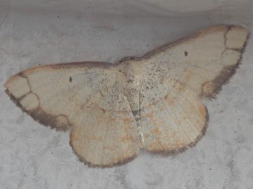 フタナミトビヒメシャク