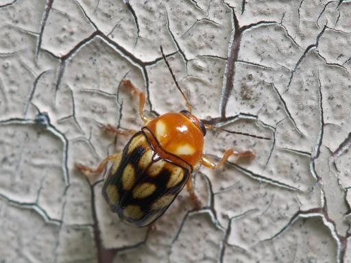 キボシツツハムシ1