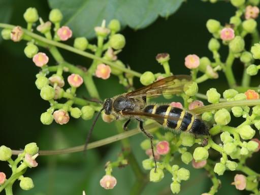 キンケハラナガツチバチ_09122