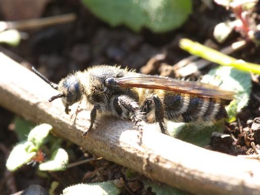 ヒメハラナガツチバチ_11242