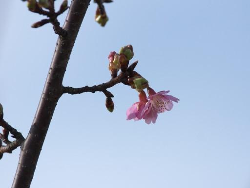 Sakura_01231