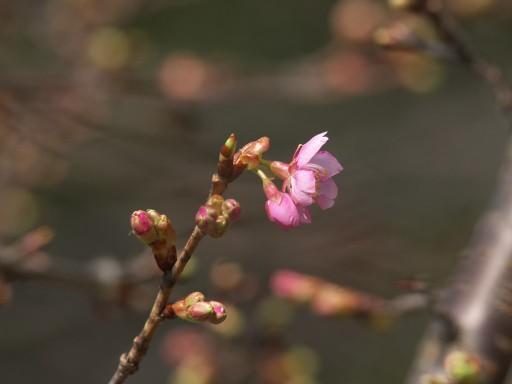 Sakura_01232