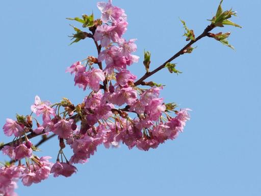 Sakura_02281