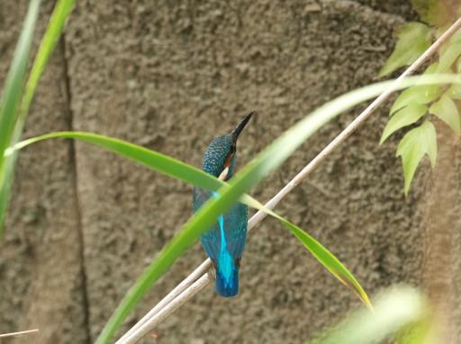 カワセミ_05031
