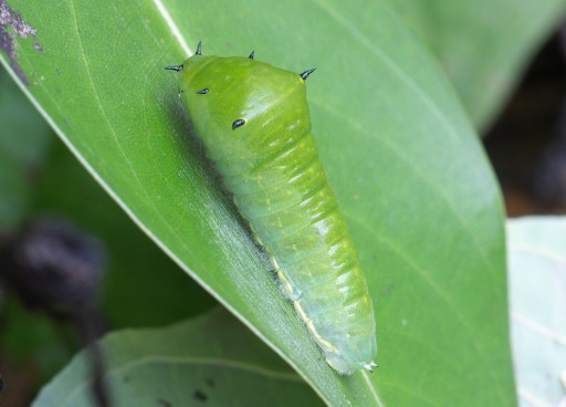 アオスジアゲハの幼虫_06191