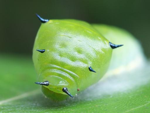 アオスジアゲハの幼虫_06192