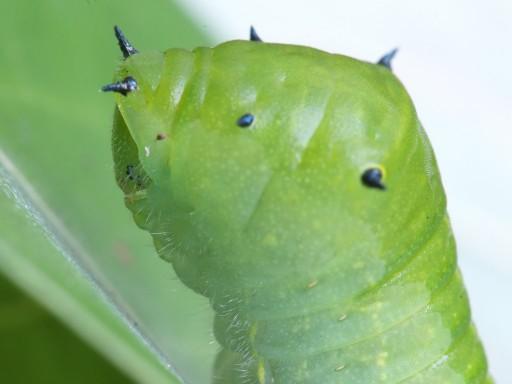 アオスジアゲハの幼虫_06193
