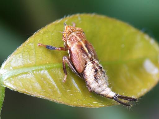 ブチミャクヨコバイの幼虫_06152