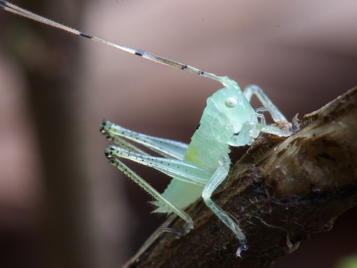 ウマオイの幼虫_06192