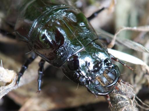 オサムシの幼虫_06152