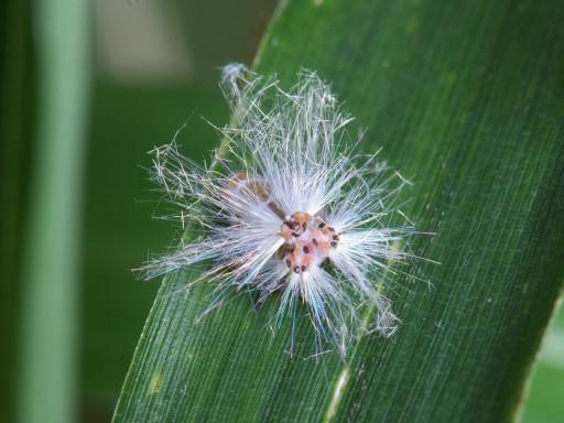 アミガサハゴロモ幼虫_06261