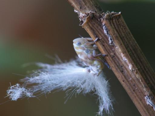 アミガサハゴロモ幼虫_06262