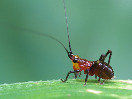 ササキリの幼虫_06263