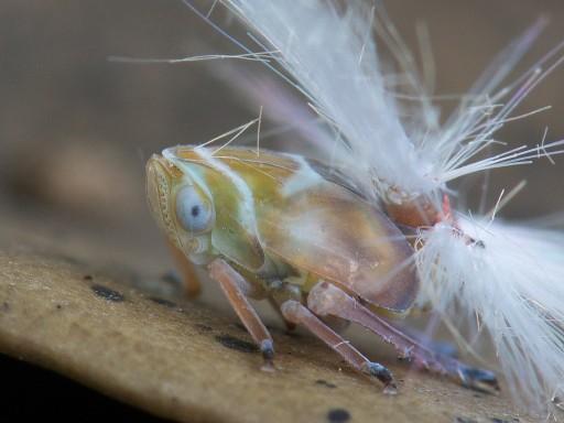 アミガサハゴロモの幼虫_07041
