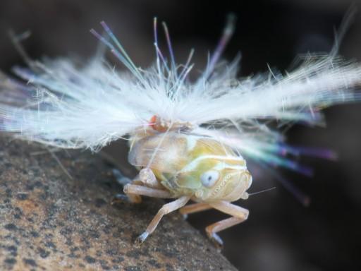 アミガサハゴロモの幼虫_07042