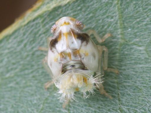 ベッコウハゴロモ幼虫_1007101