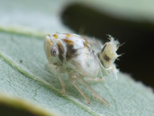 ベッコウハゴロモ幼虫_1007102