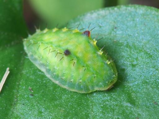 テングイラガの幼虫_1008021
