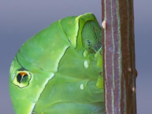 アゲハチョウの幼虫_1008032