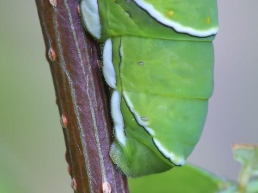 アゲハチョウの幼虫_1008033