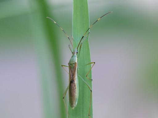 クモヘリカメムシ_1005211