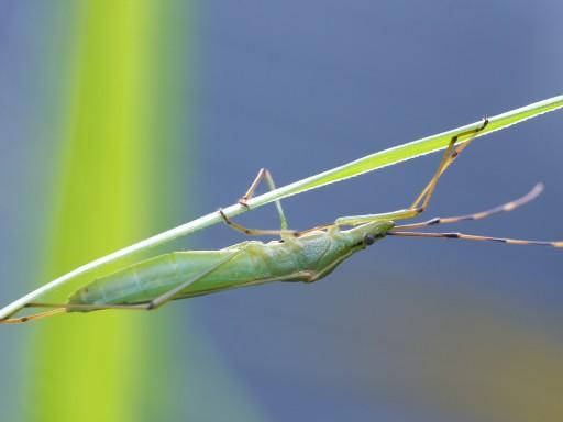 クモヘリカメムシ_1005212