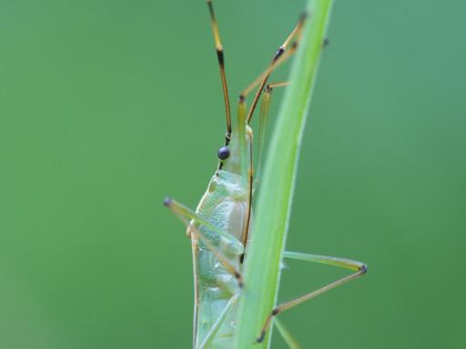 クモヘリカメムシ_1005213