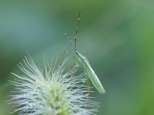 クモヘリカメムシ_1009181