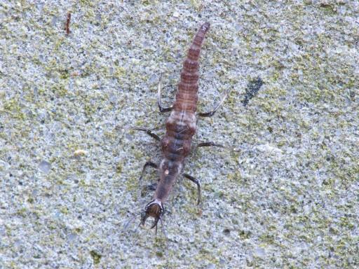 ヒメカゲロウの幼虫_1011211