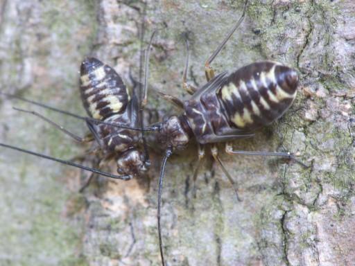 チャタテムシの幼虫_1011281