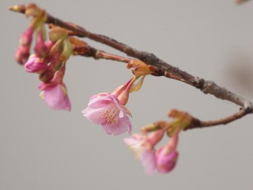 Sakura_1102081