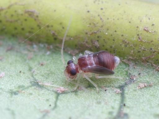 チャタテムシの幼虫_1102115