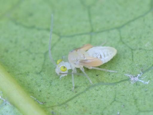 チャタテムシの幼虫_1102265