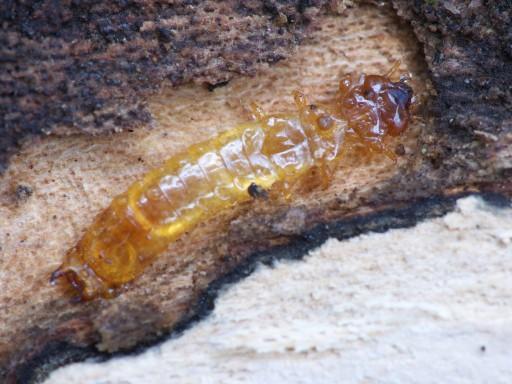 アカハネムシ科の幼虫?_1103273