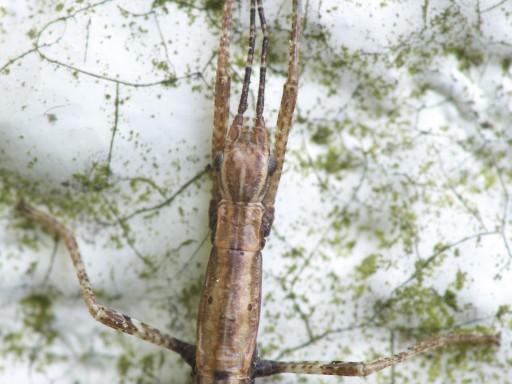 ナナフシの幼虫_1104243