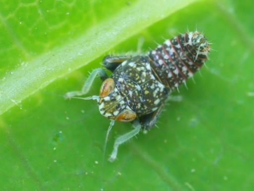 ヨコバイの幼虫_1105221