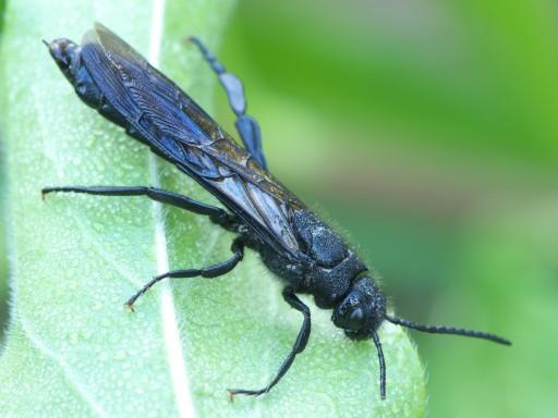 黒いハチの仲間_1106052