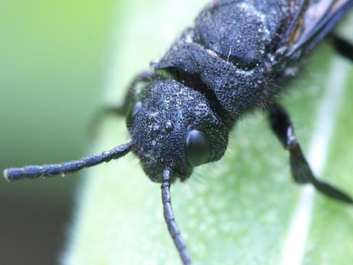 黒いハチの仲間_1106053