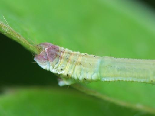 フタナミトビヒメシャクの幼虫_1109043