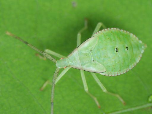 ハラビロヘリカメムシの幼虫_1109191