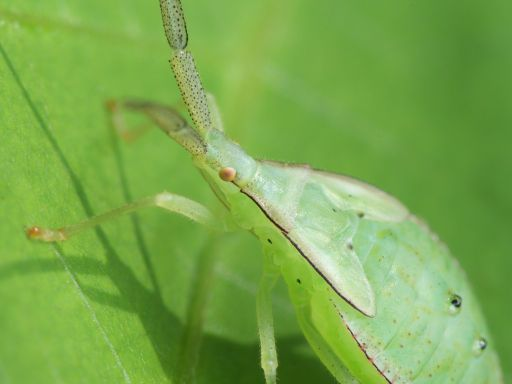 ハラビロヘリカメムシの幼虫_1109192