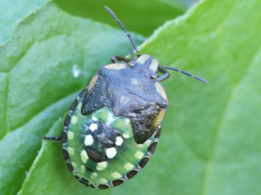 アオクサカメムシの幼虫_1111231