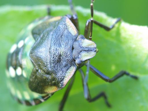 アオクサカメムシの幼虫_1111233
