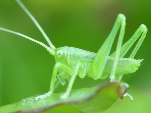 ヤブキリの幼虫_1204223