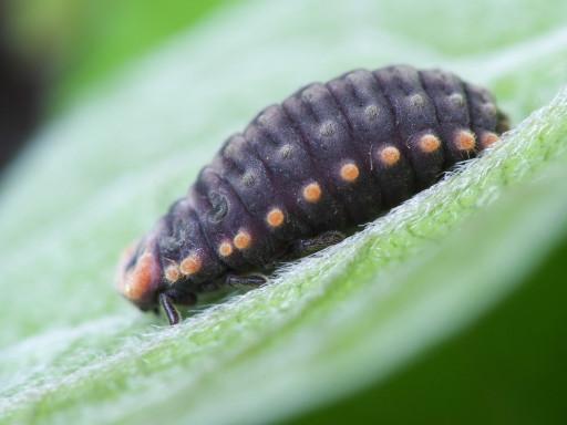 ベニヘリテントウの幼虫_1205042
