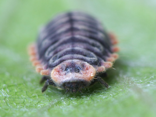 ベニヘリテントウの幼虫_1205043