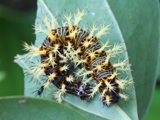 ルリタテハの幼虫_1205271