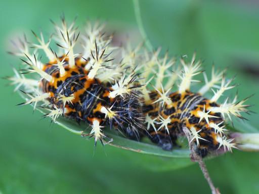 ルリタテハの幼虫_1205272