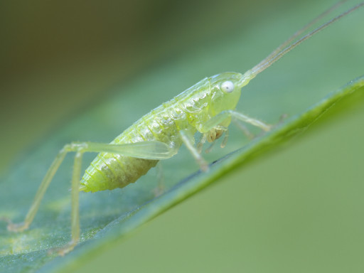 クサキリの幼虫_1206113