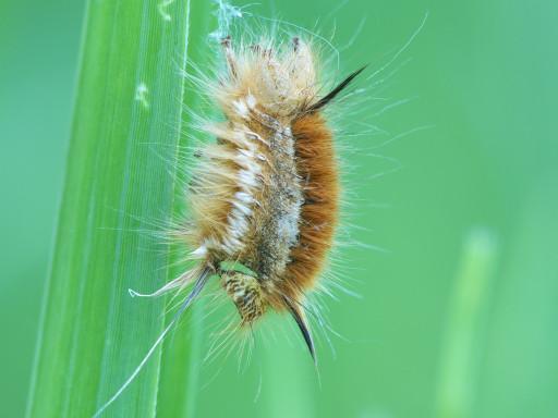 タケカレハの幼虫_1205131